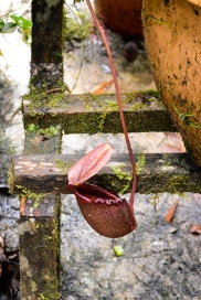 The biologist in me couldn't get enough of Sabah's rich and diverse flora! Look at this pitcher plant!